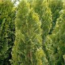 Туя западная «Smaragd», 100-120х40 см, С10