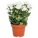 Хризантема микс 14х30 см