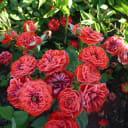 Роза бордюрная d15