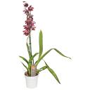 Орхидея Камбрия микс ø12 h65 см