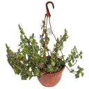 Рассада «Ампельное растение», 25х21 см, микс