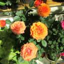 Роза террасная, d11/h25