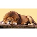 Фотообои флизелиновые «Лев» 370х200 см