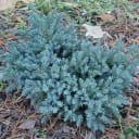 Можжевельник чешуйчатый «Блю Стар», 17х10-15 см