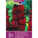 Гладиолус крупноцветковый «Блэк Бьюти»