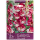 Гладиолус крупноцветковый «Кум Лауде»
