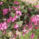 Снежноягодник розовый С2 h40