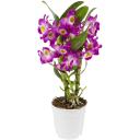 Орхидея Дендробиум микс ø12 h45 см