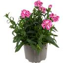 Гвоздика розовая 12x22 см