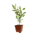 Дерен белый «Аргентеомаргината» С2 40 см