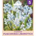 Пушкиния «Libanotica» размер луковицы 4/5, 5 шт.
