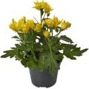 Хризантема Биколор микс 12Х25 см
