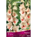 Гладиолусы крупноцветковые Аякс