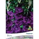 Гладиолус крупноцветковый «Блэк Вельвет»