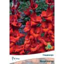 Гладиолусы крупноцветковые Браун Шугар