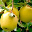 Яблоня «Голден делишес» C4 высота 120-150 см