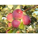 Яблоня домашняя «Орлик» 3-5 л высота 100-180 см