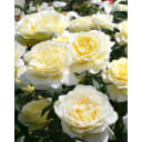 Роза почвопокровная «Нина Поулсен» 19x55 см