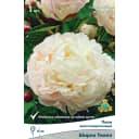 Пион молочноцветковый травянистый «Ширли Темпл» разбор 1-2