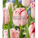 Тюльпан «Мерел Делайт» размер луковицы 11, 7 шт.