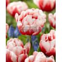 Тюльпан «Войсмейл» размер луковицы 12, 5 шт.