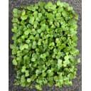Семена Микрозелень «Коралловый редис»