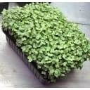 Семена Микрозелень «Руккола»