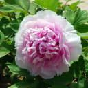 Пион древовидный Розовое Облако