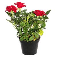 Роза мини микс 6х15 см