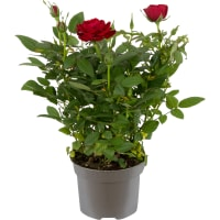 Роза Кордана микс 10х25 см