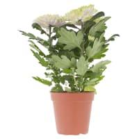 Хризантема Зембла 13х35 см