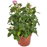 Роза «Стар Розес» микс 12x30 см