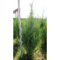 Можжевельник скальный «Блю Эрроу», 140-160 см, С35