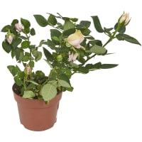 Роза Фаворит микс 10.5x25 см