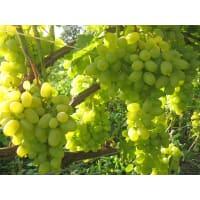 Виноград культурный «Восторг» 1.5-2 л высота 40-80 см