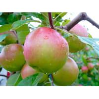 Яблоня домашняя «Балтика» 3-5 л высота 100-180 см