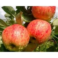 Яблоня «Башкирский красавец» 3-5 л высота 100-180 см