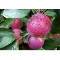 Яблоня домашняя «Брусничное» 3-5 л высота 100-180 см
