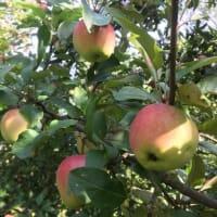 Яблоня домашняя «Красуля» 3-5 л высота 100-180 см