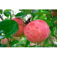Яблоня «Летнее полосатое» 3-5 л высота 100-180 см