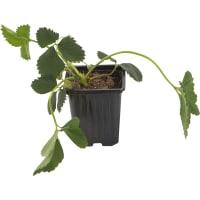 Земляника садовая «Зенга Зенгана» 9x15 см