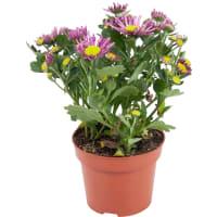 Хризантема Ронделла 12x25 см