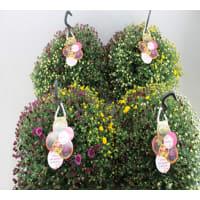 Хризантема махровая уличная микс 23х40 см