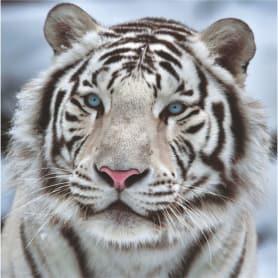 Фотообои бумажные «Бенгальский тигр» 139х139 cм