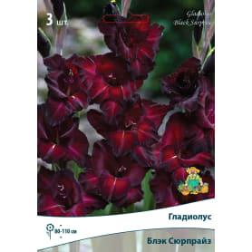 Гладиолус крупноцветковой «Блэксюрпрайз»