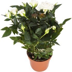 Роза «Бау Монде» микс