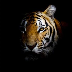 Картина на стекле «Непобедимый тигр» 40х40 см