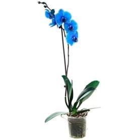 Фаленопсис синий окрашенный 1 стрелка 12x60 см
