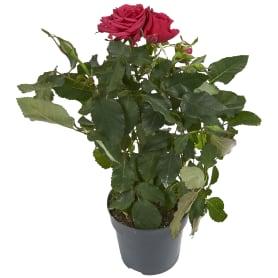 Роза Виктори микс 10.5x30 см