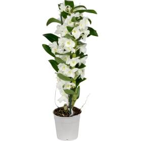 Орхидея Дендробиум Аполлон ø12 h50 см